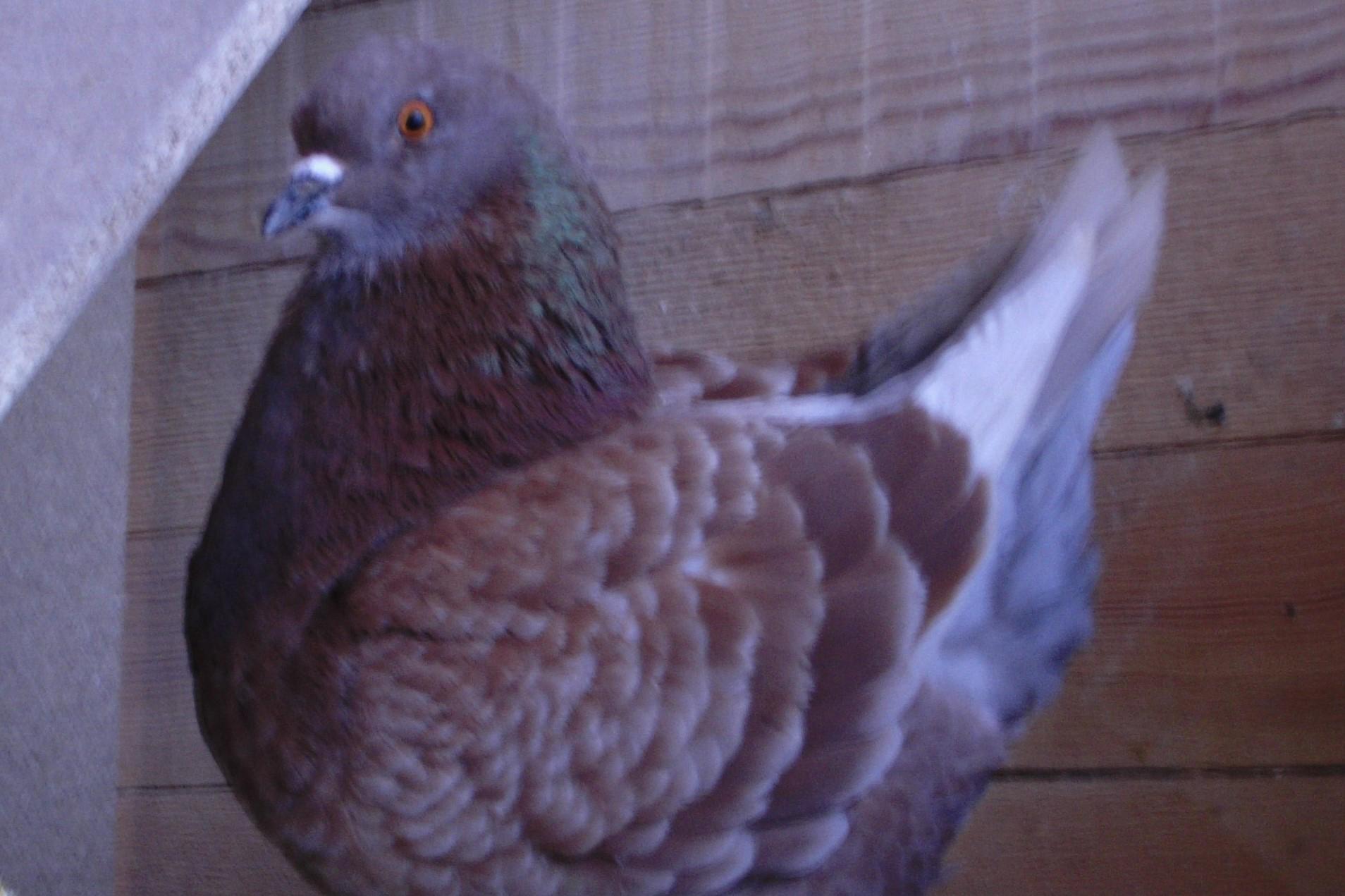 Die Taube auf dem Dach